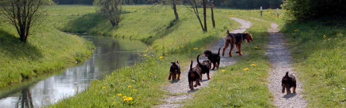 Airedale Terrier vom Spiersbach